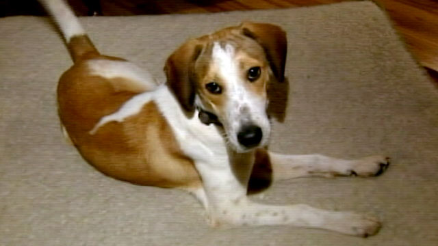 PHOTO: A beagle named Daniel was to be euthanized by a gas chamber, and survived, Oct. 3, 2011.