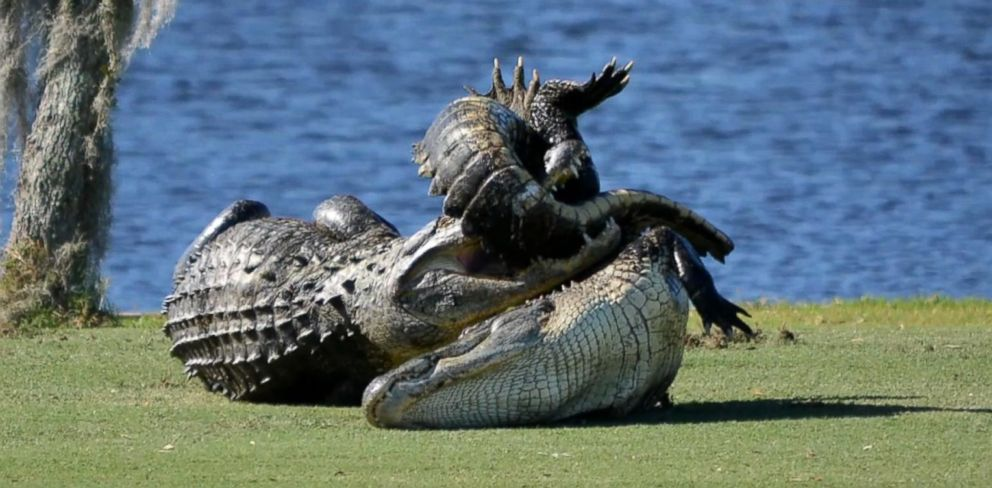 Goliath The Gator Stalks Another Gator Before Tackling Him Abc News