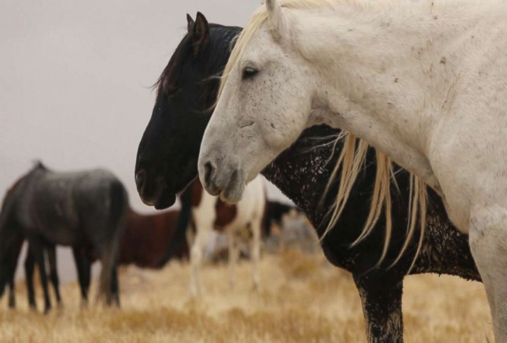 Wild horses are seen here in the American West.