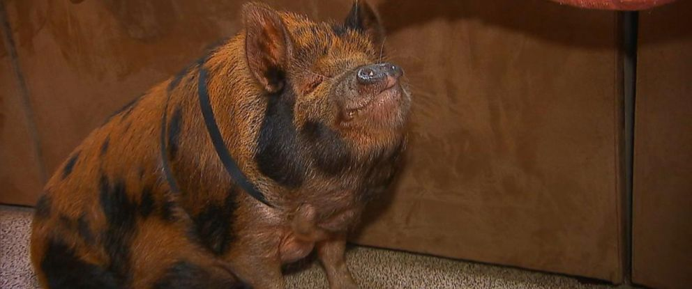 PHOTO: In Midlothian, Virginia, neighbors are asking the Johnson family to move away over their pet pig Tucker, pictured here.