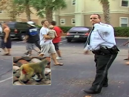 Video: Wild monkey able to elude capture by police.