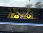 PHOTO: A live owl was found lodged in the hood of an SUV in Florida, Feb. 12, 2013.