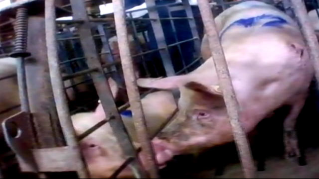 PHOTO:Undercover video just released by the group Mercy for Animals provides a shocking look into one of the nations largest pork producers.