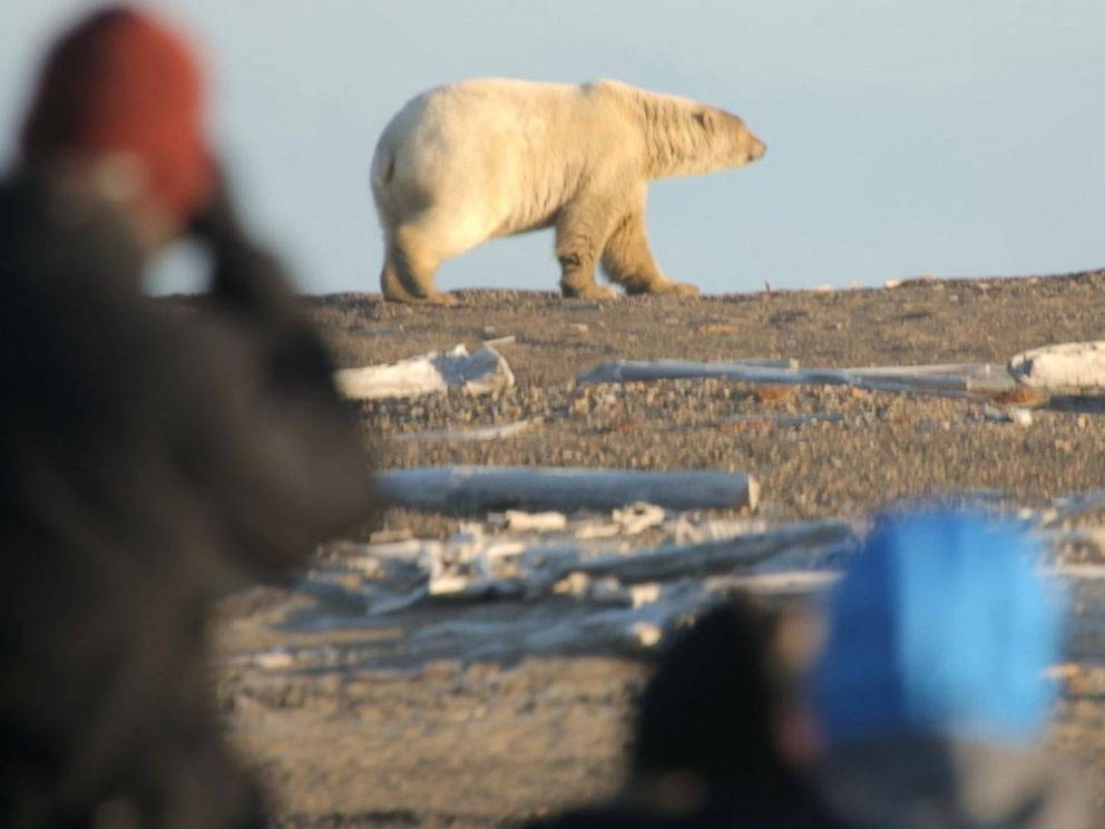 Tourists take photos of polar bears seen outside of the Alaskan village of Kaktovik.
