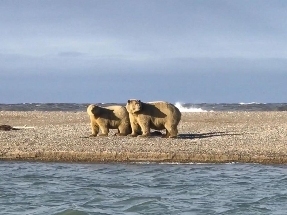 Polar bears are coming on land earlier in the year because, experts say, the sea ice they depend on has been disappearing.