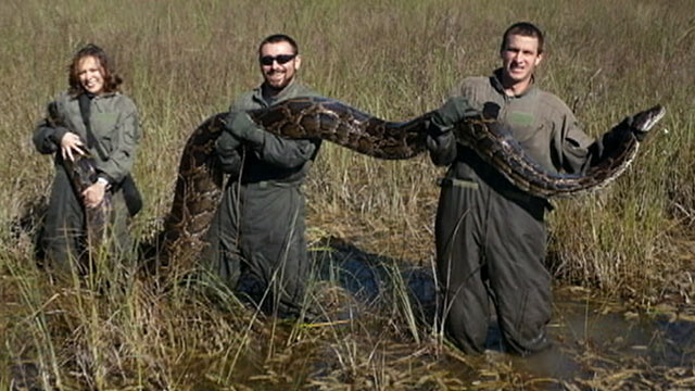 PHOTO: Florida wildlife officials are launching a snake hunting mission to help curb the growing population of Burmese pythons.