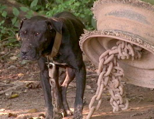 367 Pit Bulls Rescued in Multi-State Dog Fighting Bust