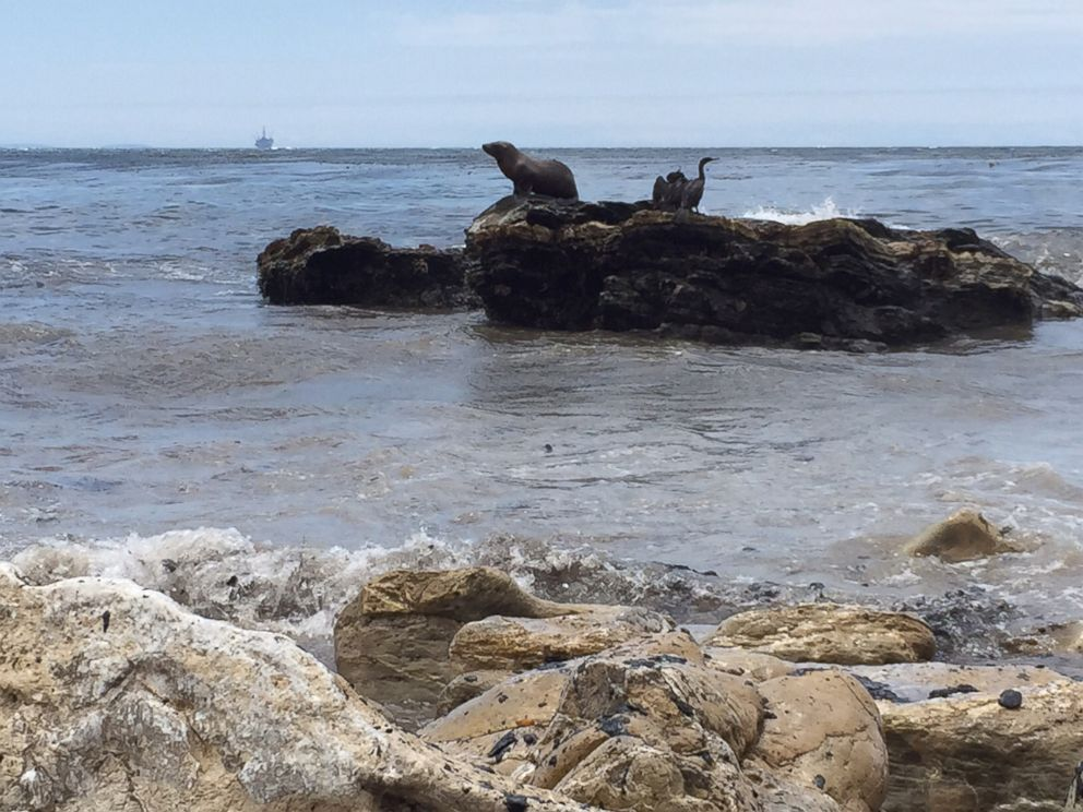 PHOTO: Oil could be seen on rocks near wildlife as volunteers continued to clean up days after pipe ruptured.