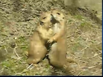Video: Prairie dogs cuddle-up at the zoo.
