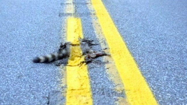 Dead Raccoon Painted Road Kill Covered With Yellow Line