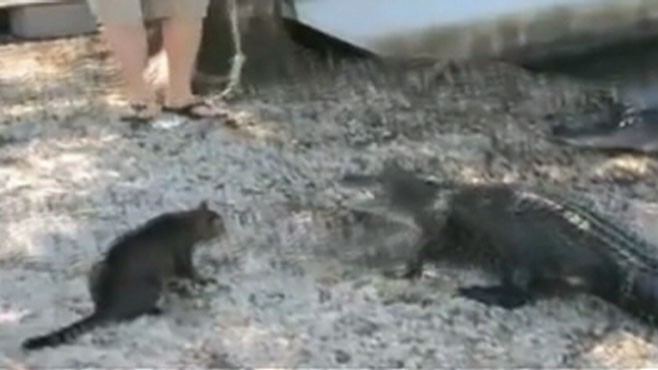 VIDEO: A cat doesnt back down when faced with a pair of alligators in New Orleans.