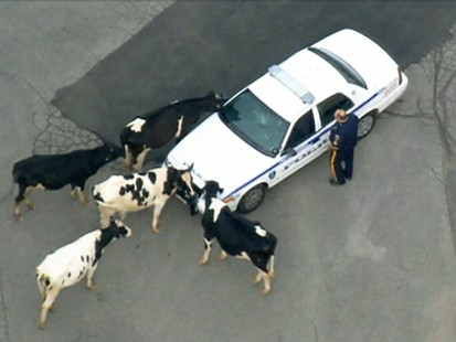 VIDEO: Cows escape dairy farm and end up on a highway.