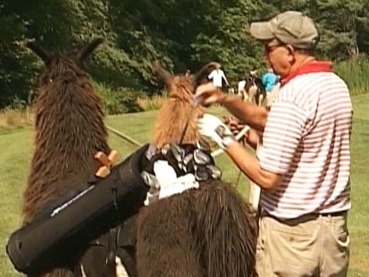 Video: Llamas hit the golf course as caddies.