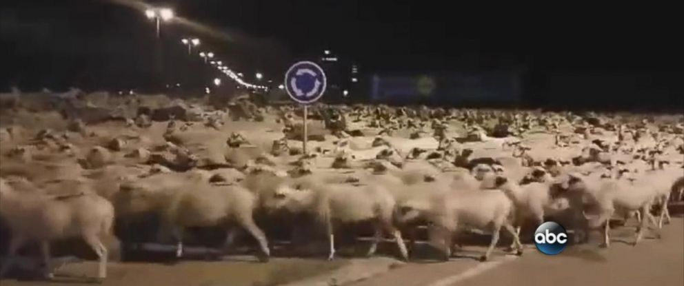 PHOTO: Over 1,300 sheep took over the streets of the northeastern city of Huesca, Spain after their caretaker fell asleep.