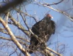 PHOTO: Swarms of turkey vultures that have made themselves at home in Shelby, N.C., but town residents are wary of their new neighbors.