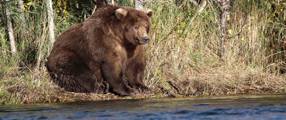 PHOTO: A shaggy, brown and possibly pregnant mother bear known as 409 Beadnose, seen on the bank of Brooks River in Katmai National Park and Preserve, Alaska, was crowned Fattest Bear of 2018 on Oct. 9, 2018.