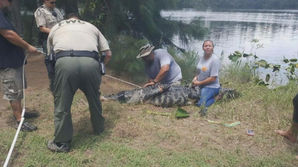 A 12-foot alligator was removed from a lake at the Silver Lakes Rotary Nature Park in Davie, Florida, after a woman went missing.