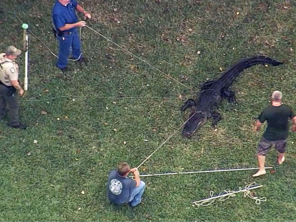 PHOTO: Trappers in Lakeland, Fla., capture an alligator that bit an 85-year-old man in the foot on Dec. 3, 2018.