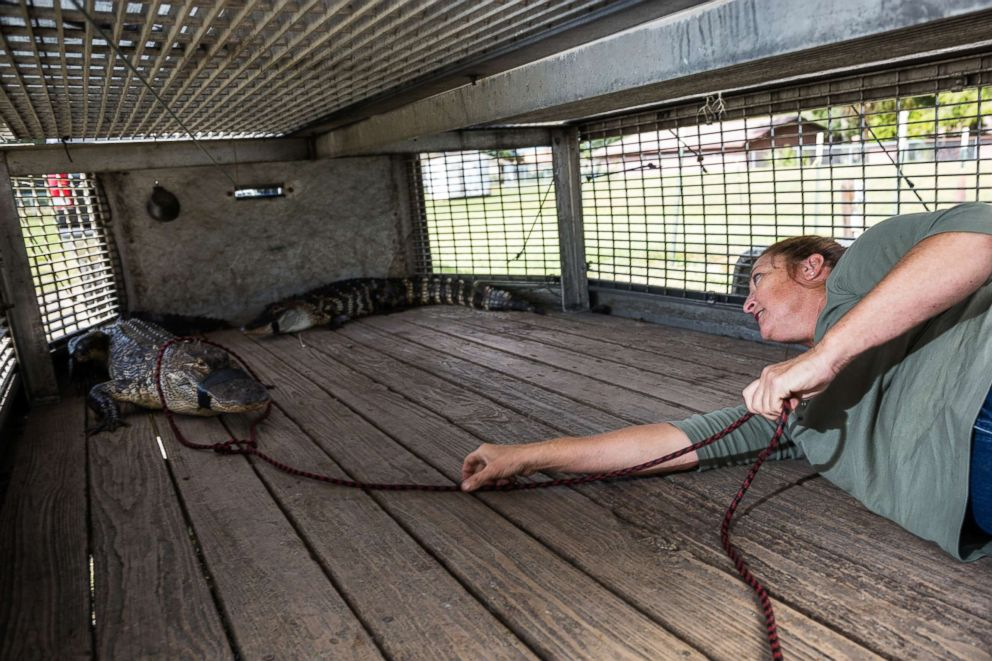 PHOTO: Julie Harter puts a rope around a trapped alligator.