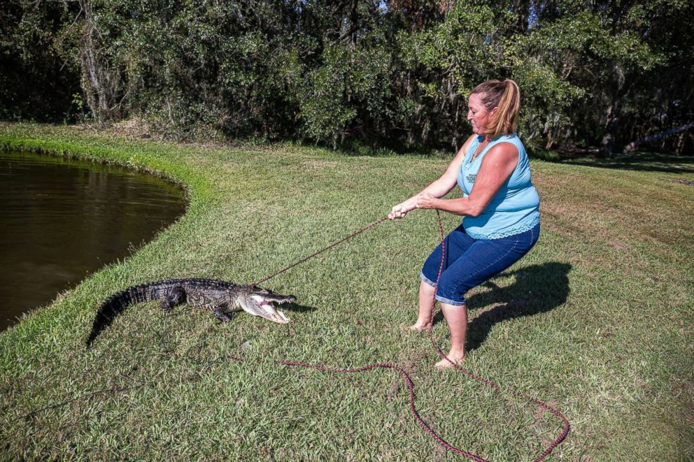 PHOTO: Julie Harter pulls an alligator from a residential freshwater pond.