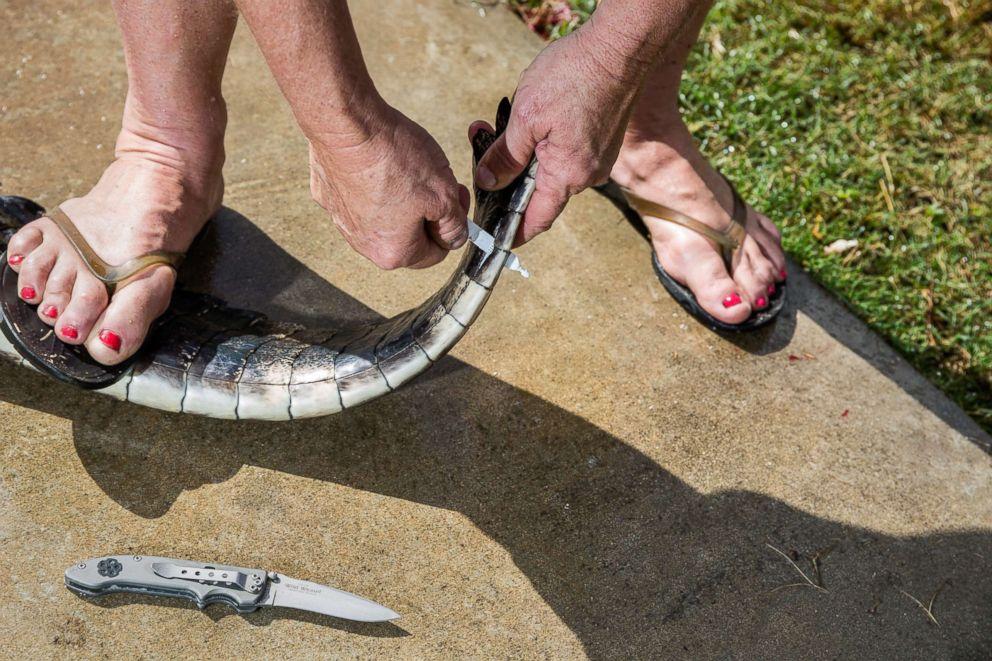 PHOTO: Julie Harter tags an alligators tail.