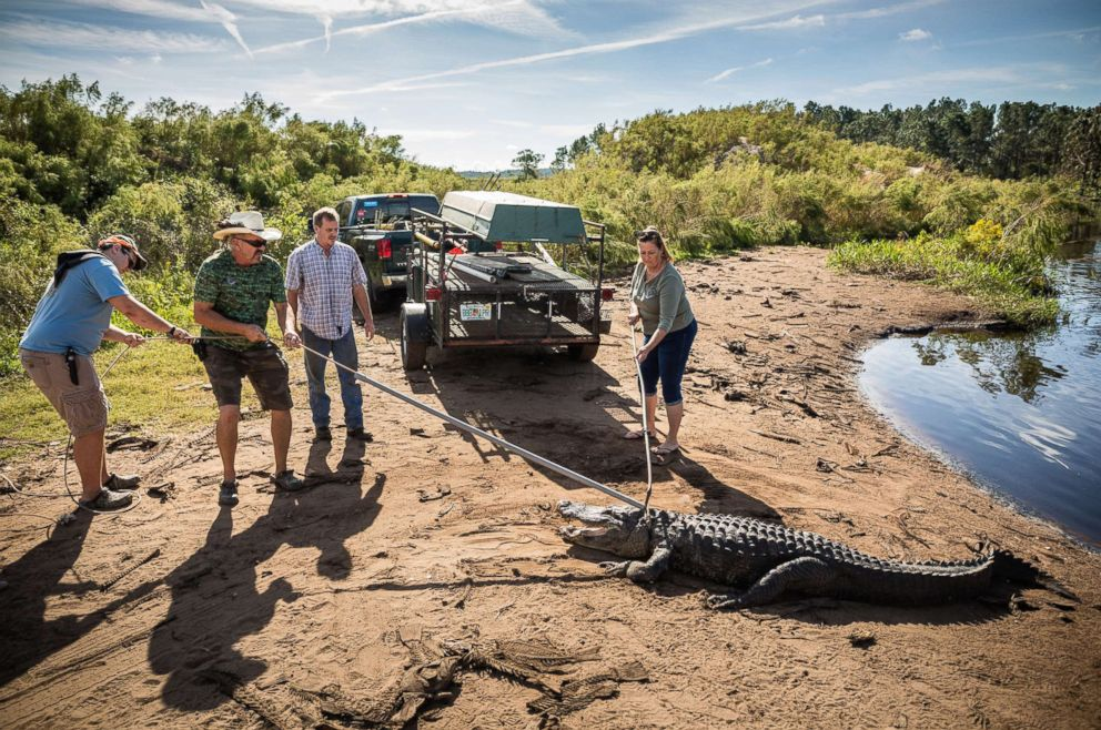 PHOTO: (L-R) Father and son, Jared and Robb Upthegrove, owner Glen Grizzaffe of the alligator farm Archery Shop Outfitters, and Julie Harter, release a ten-foot alligator into a pond.