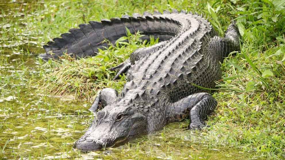 alligator gty jpo 190623 hpMain 16x9 992