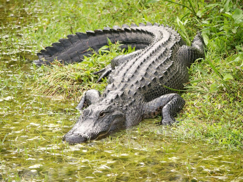 PHOTO: An alligator is pictured in this undated stock photo.