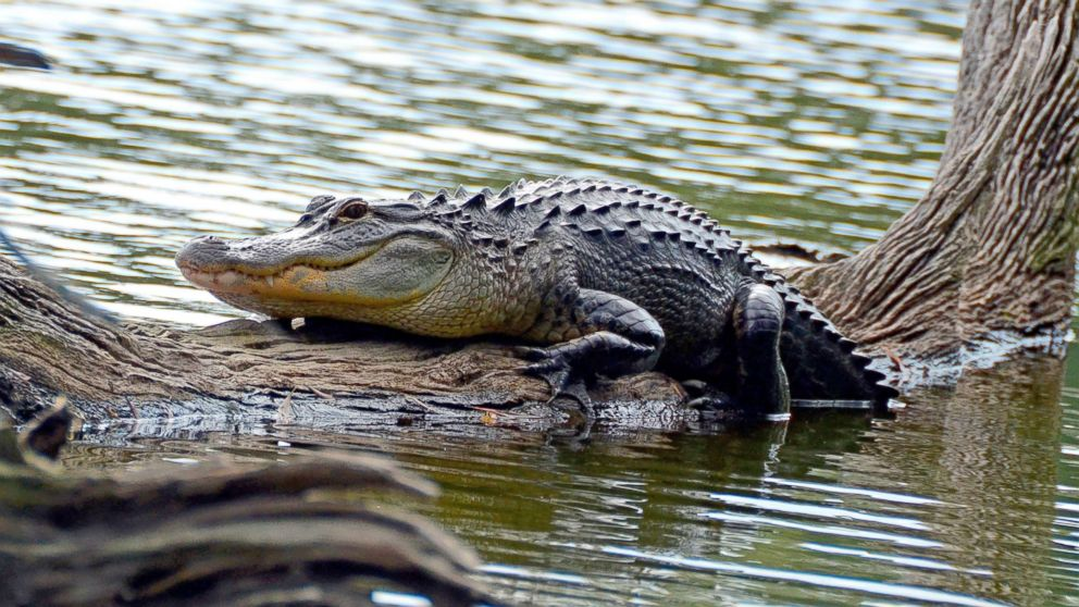 An alligator rests on a fallen tree in the Sea Pines Forest reserve on Hilton Head Island in this undated photo.