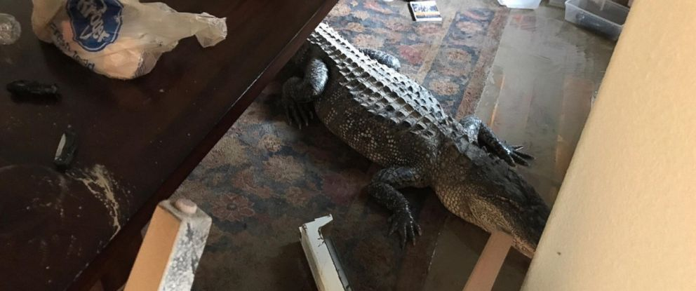 9 Foot Alligator Removed From Flooded Texas Home Abc News