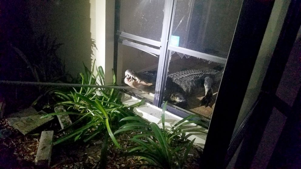 PHOTO: An 11-foot alligator broke into a home in Clearwater, Florida, on the night of May 31, 2019, according to the Clearwater Police Department.