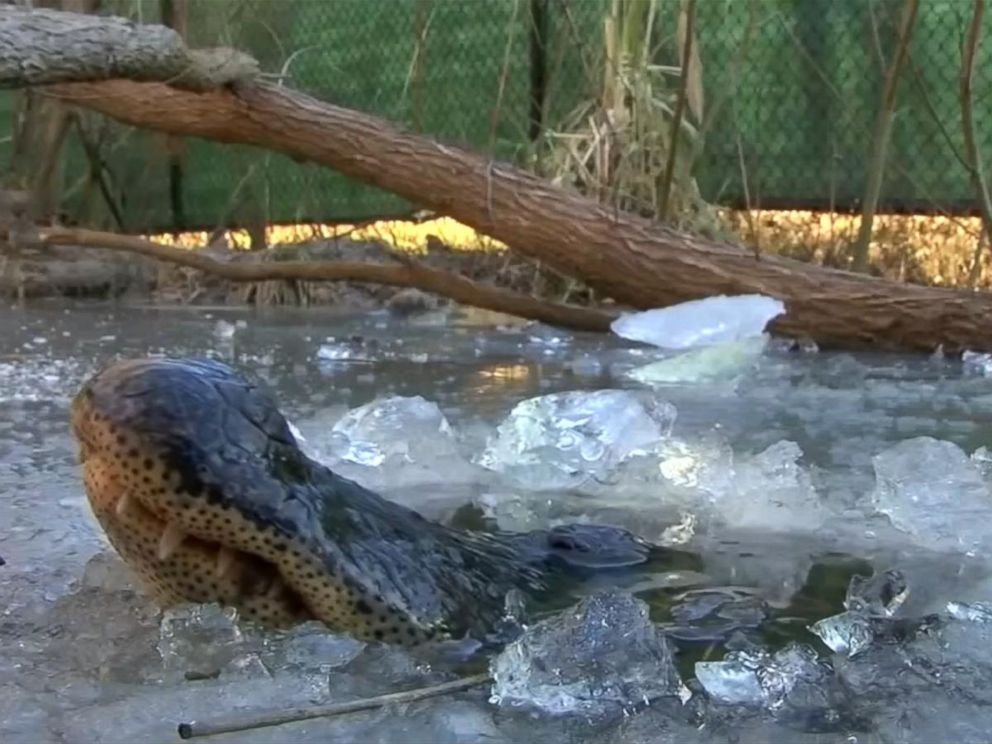 PHOTO: Alligators at Shallotte River Swamp Park can be seen poking their noses through a sheet of ice to breathe.