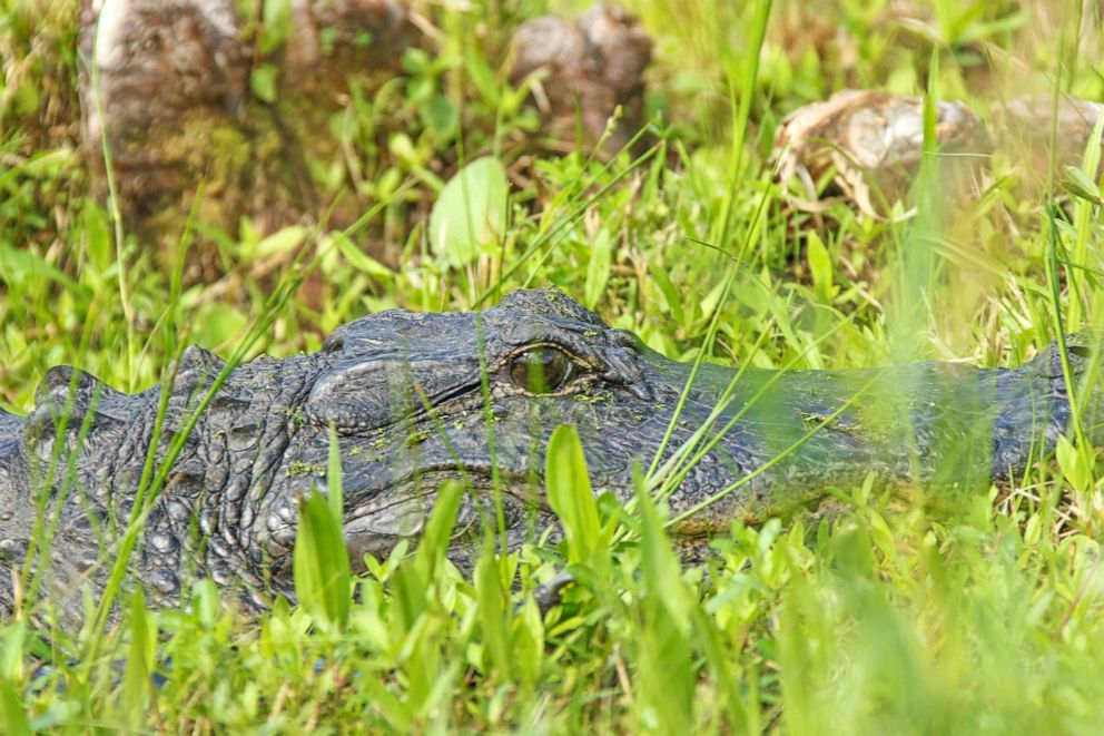 PHOTO: In this undated file photo, an American alligator is shown lurking in the grass in South Carolina.