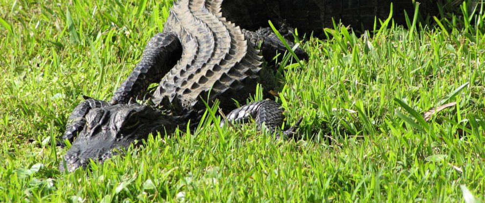 PHOTO: In this undated file photo, a juvenile American alligator sunbathes in the grass in Charleston, South Carolina.
