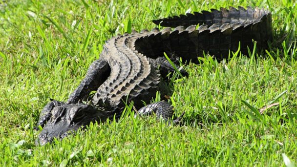 South Carolina woman injured in alligator attack while walking dog near pond