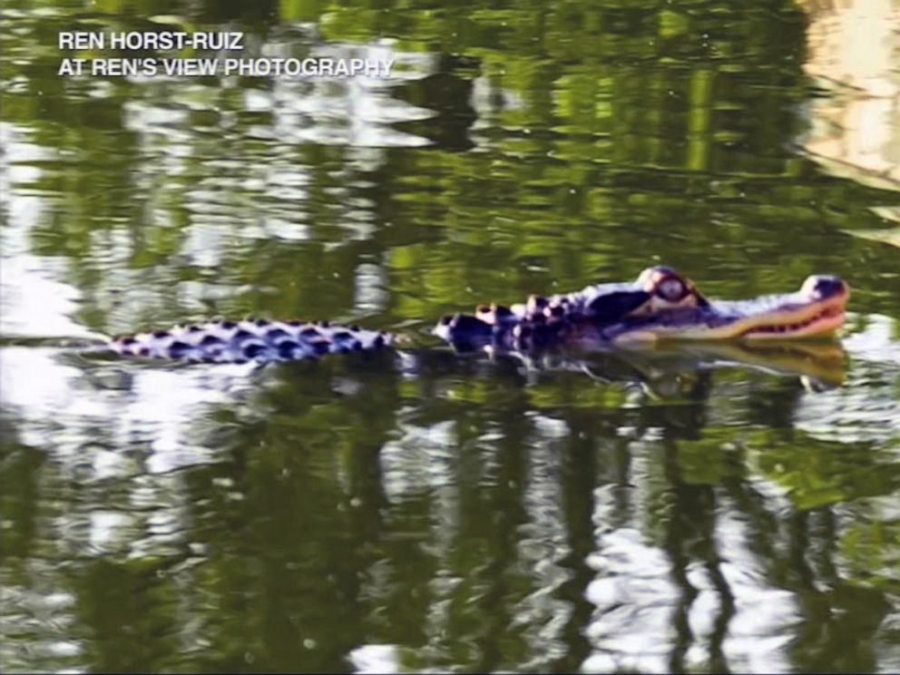 PHOTO: An alligator swims in Humboldt Park Lagoon in Chicago.