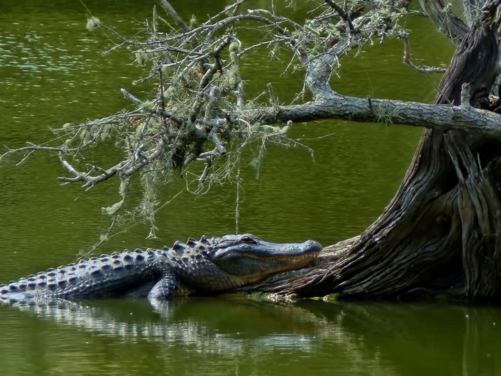 PHOTO: An alligator is seen near the base of a tree in this undated stock photo.