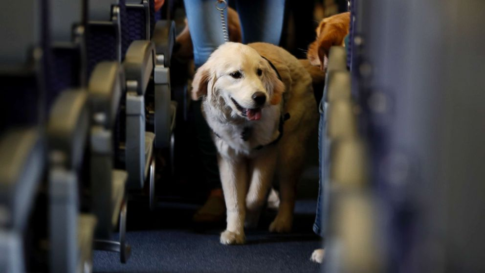 In this April 1, 2017, file photo, a service dog strolls through the aisle inside a United Airlines plane at Newark Liberty International Airport in Newark, N.J.