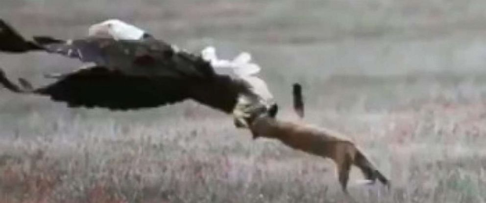 An eagle tried stealing a rabbit that had been caught by a fox.