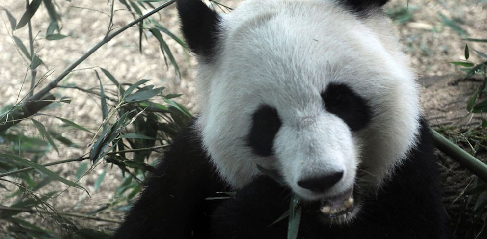 PHOTO: In this Sept. 16, 2009 file photo, giant panda Lun Lun eats a bushel of bamboo at Zoo Atlanta in Atlanta. Lun Lun gave birth Monday, July 15, 2013, at Zoo Atlanta to two tiny cubs.