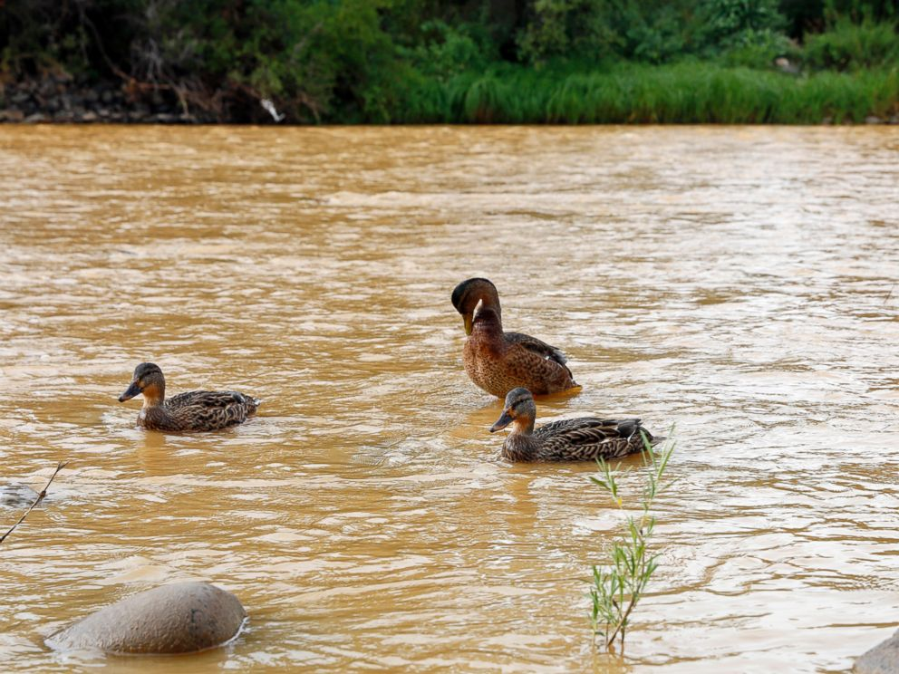 PHOTO: Ducks wade in the Animas River as orange sludge from a mine spill upstream flows past Berg Park in Farmington, N.M., Aug. 8, 2015.