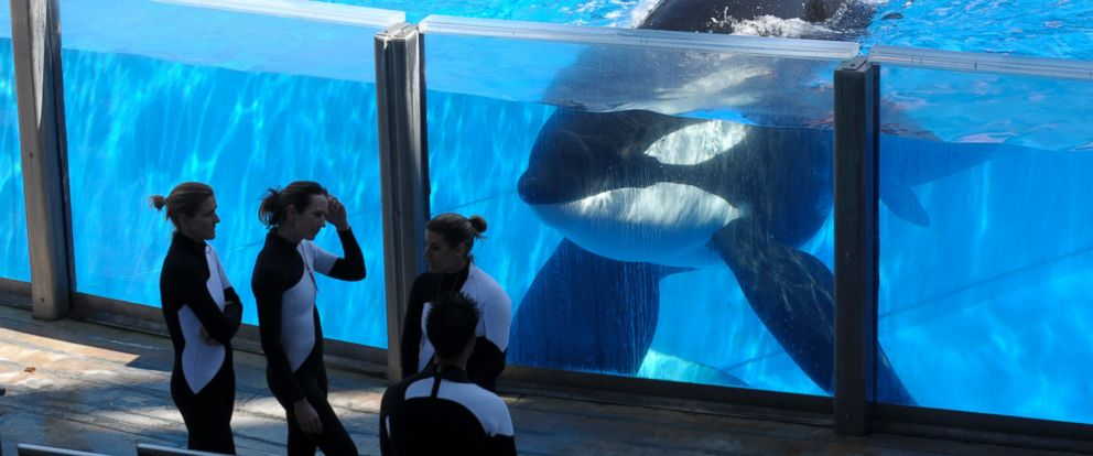 PHOTO: A killer whale watches as SeaWorld Orlando trainers take a break during a training session at the theme parks Shamu Stadium in Orlando, Fla., March 7, 2011.