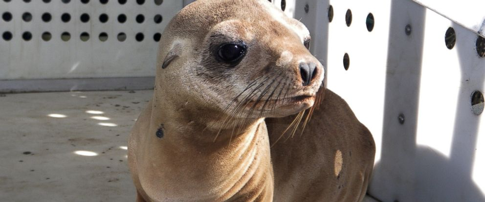 PHOTO: This photo provided by Peter Wallerstein of Marine Mammal Rescue shows a sea lion pup at a MMR facility in the Playa Del Rey area of Los Angeles, April 19, 2015.