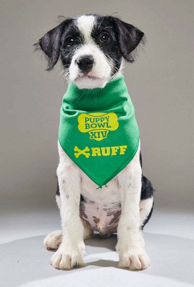 PHOTO: Archer, who has been renamed Maddox by his adoptive mom, is among two puppies rescued from Puerto Rico after Hurricane Maria who will star in the 2018 Animal Planet Puppy Bowl.