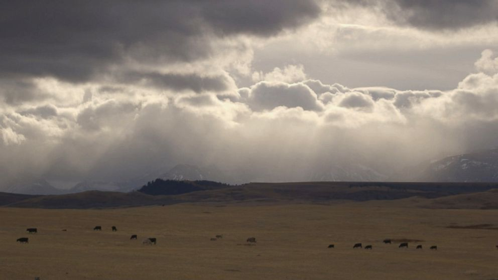 Cattle graze outside the town of Browning in the Blackfeet Reservation in northwestern Montana.