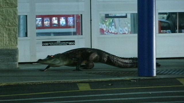 Alligator Causes Stir at Florida Walmart