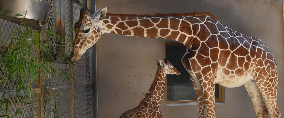 PHOTO: This June 28, 2017 photo provided by The Maryland Zoo shows a baby giraffe, Julius, and his mother, Kesi, at the zoo in Baltimore.