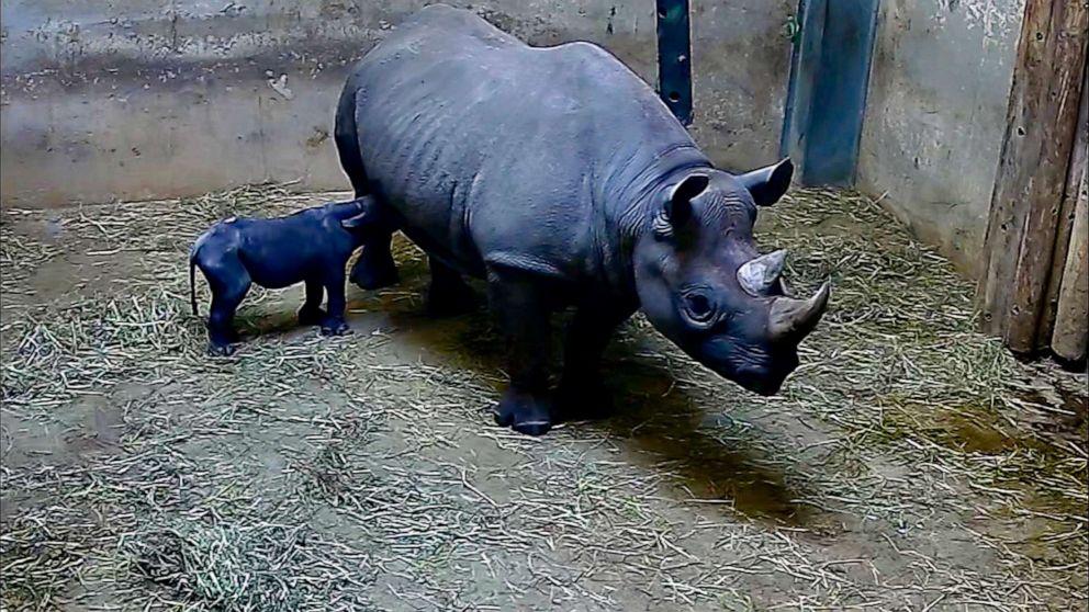 PHOTO: Kapuki, an eastern black rhino, nurses her new born calf at the zoo in Chicago, May 19, 2019.