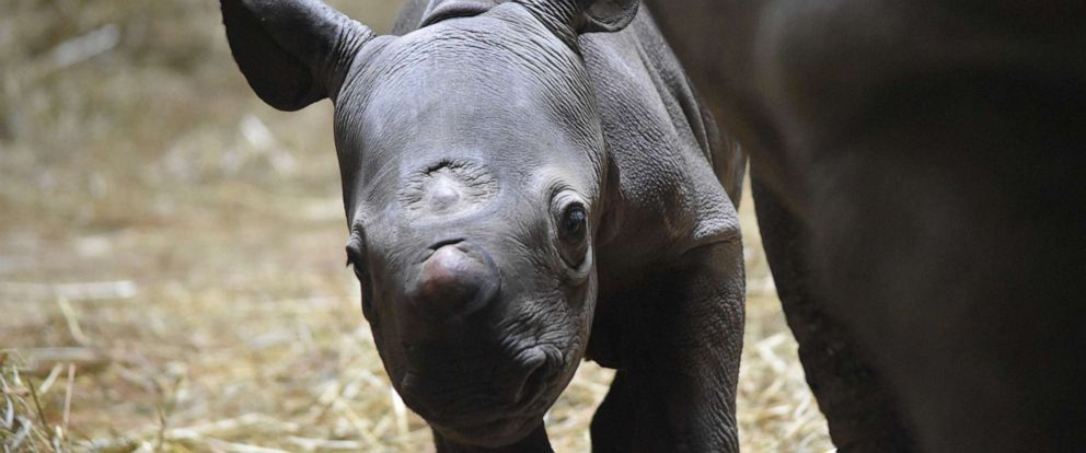 PHOTO: An eastern black rhinoceros named Kapuki gave birth to a calf at Lincoln Park Zoo, Chicago, May 19, 2019.