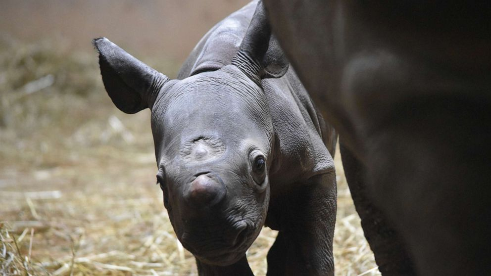 Rare eastern black rhinoceros born at Chicago's Lincoln Park Zoo